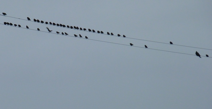 Birds on wires Steart Sept 19 2018