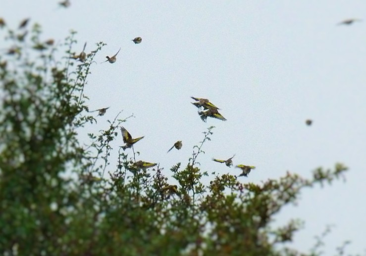 charming finches Steart 19 Sept 2018