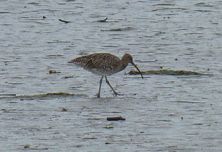 curlew sl sharper of the 2 Lelant Sept 18