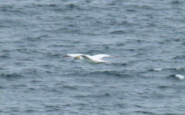 gannet cruising St Ives Sept 18