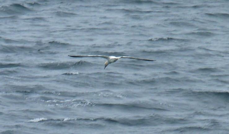 gannet stooping St Ives Sept 18