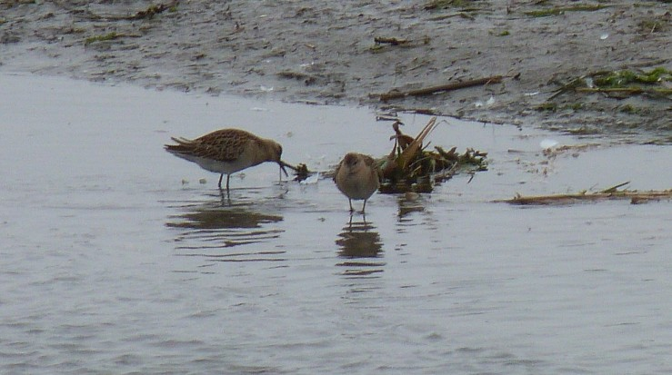 pair ruffs Lelant Sept 18