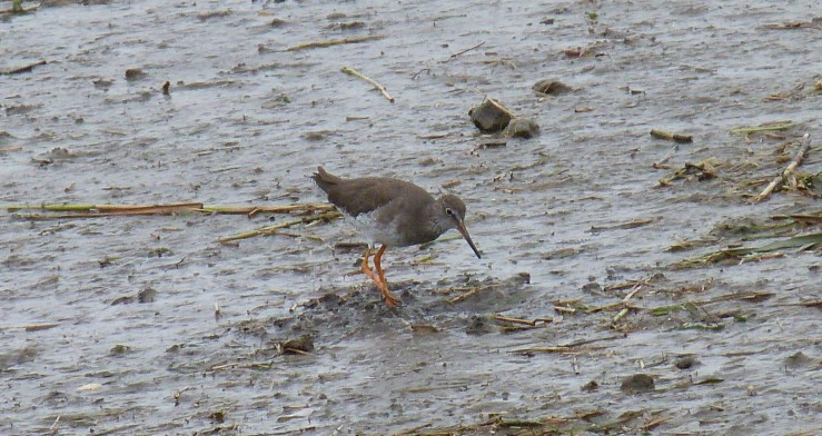 redshank sharper of 2 Lelant Sept 18