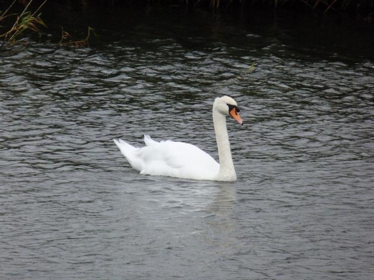 Swan Steart 19 Sept 2018