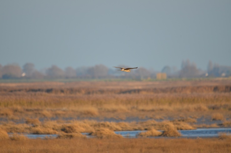 Ringtail hen harrier 6 yellow eye WWT Steart 17 Nov 18