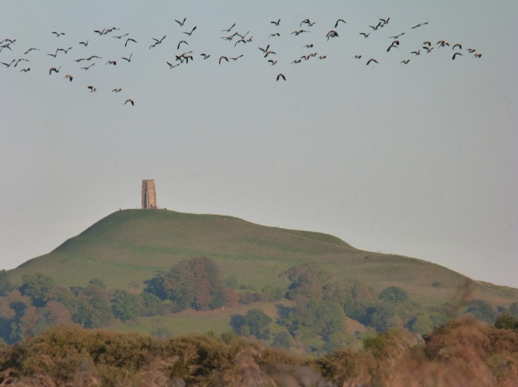 lapwing and the Tor from Ham Wall Sept 18