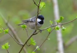 coal tit Swell Woods 7 Apr 2019