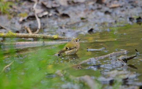 goldcrest Swell Woods 7 Apr 2019