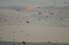 Lapwing clouds.